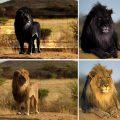 Сколько осталось черных львов