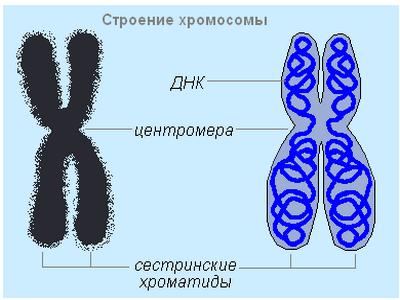 Каковы строение и функции соматических клеток животных