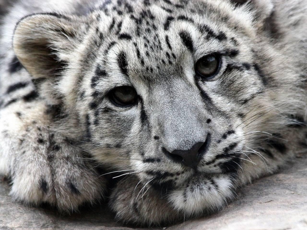 Котенок снежного барса