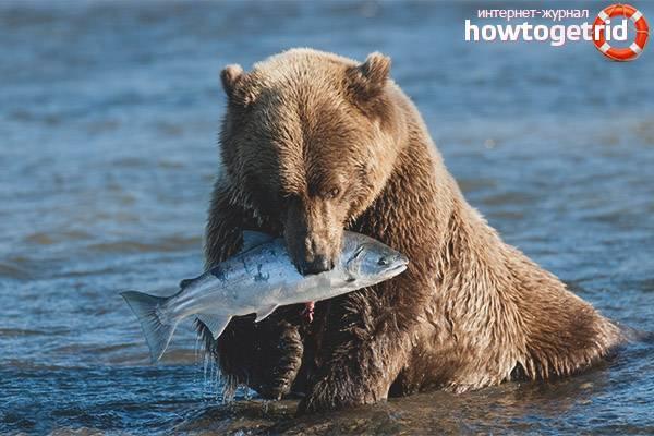 Среда обитания бурого медведя