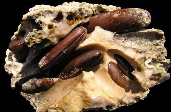Сообщение двустворчатые моллюски