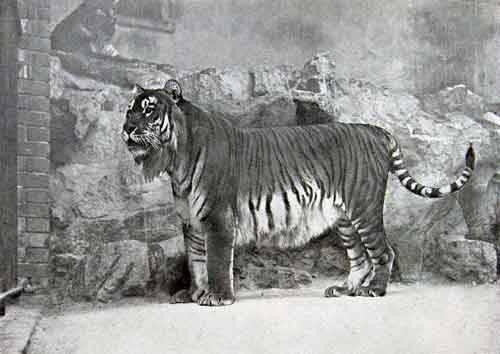 Все виды тигров в мире
