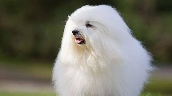 Белая длинношерстная собака порода