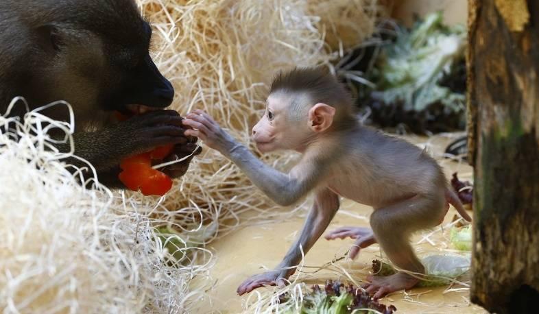 Интересные факты про обезьян