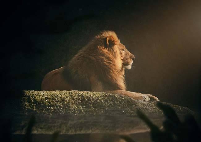Лев животное описание для детей