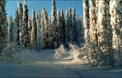 Основные деревья тайги