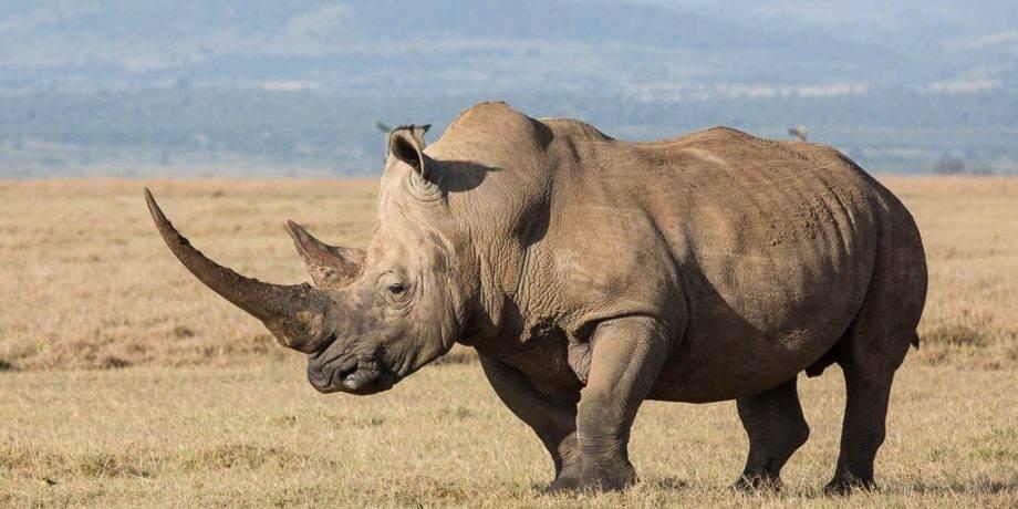 Самый длинный рог у носорога
