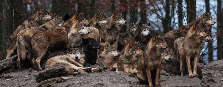 Где водятся волки в россии