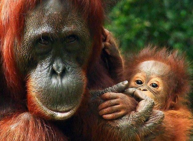 Где обитают орангутаны