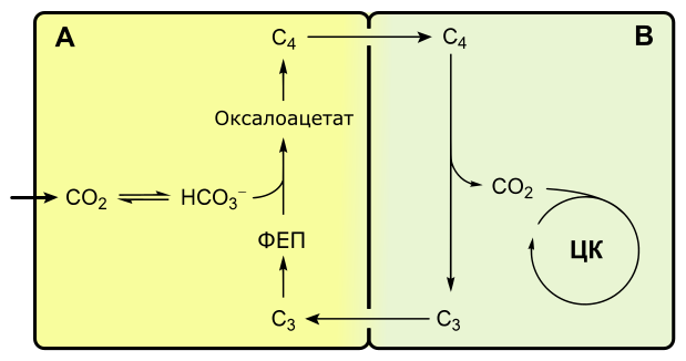 Характеристика световой и темновой фазы фотосинтеза