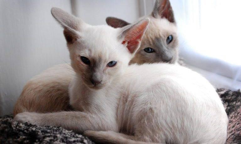 Балтийская порода кошек фото