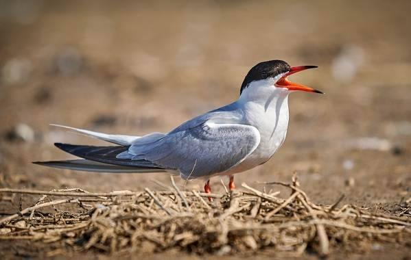 Перелетные птицы башкирии фото и названия