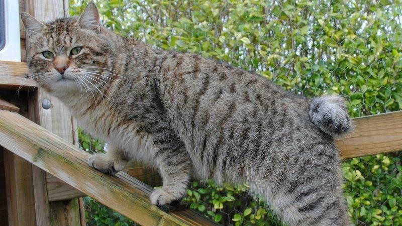 Самые большие коты в мире фото порода