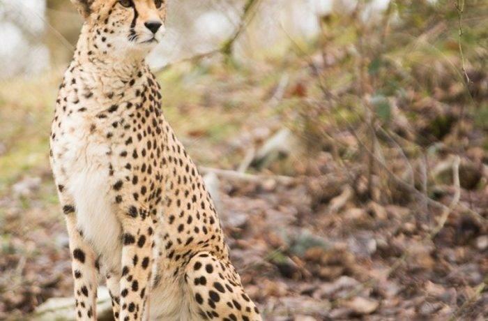 Спаривание гепардов