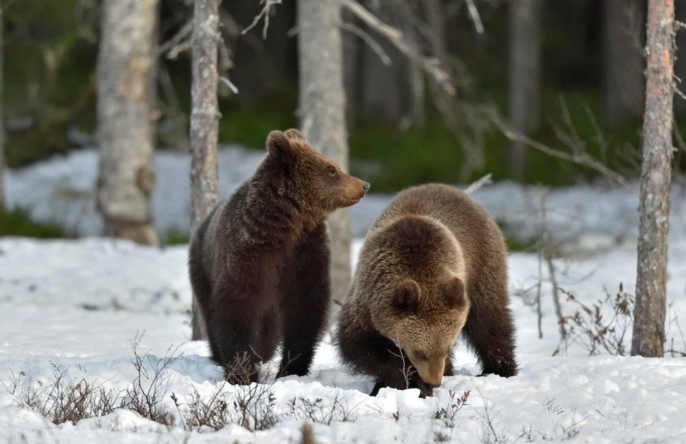Срок беременности медведя