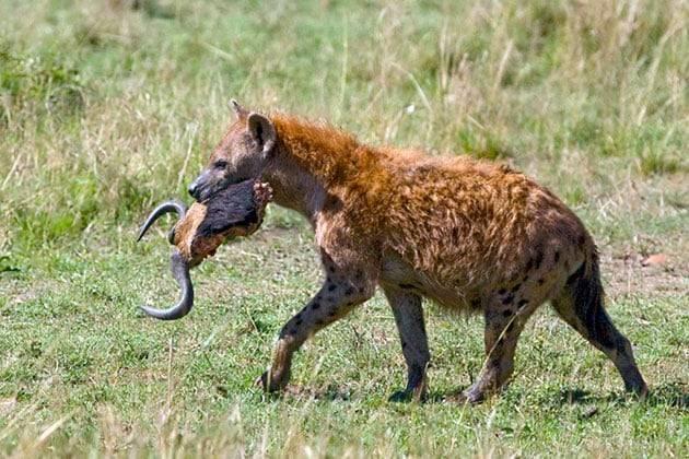 Какие животные живут в саванне