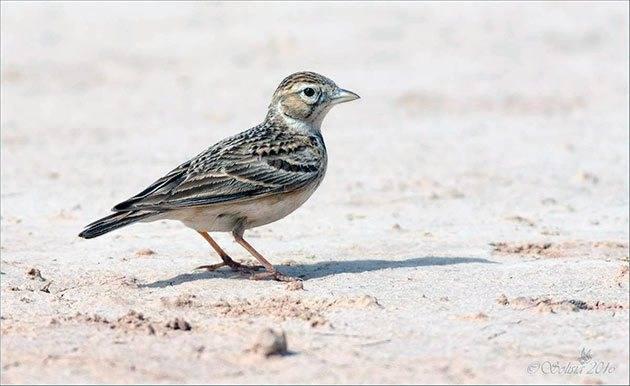 Жаворонок перелетная птица или нет