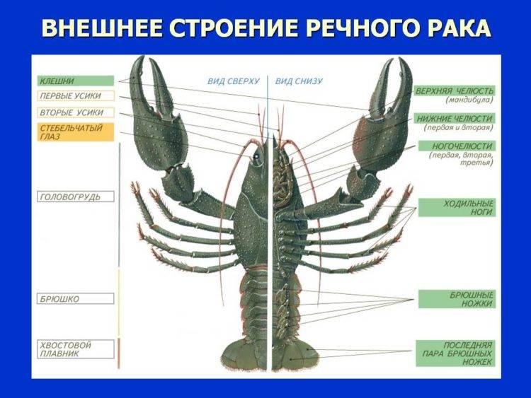 Размножение и развитие ракообразных