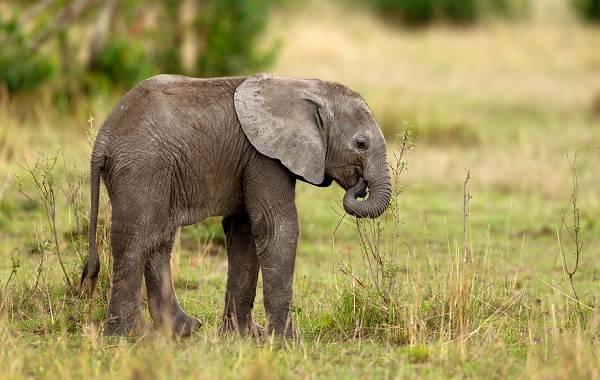 Слон фото животного