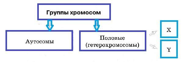 Строение хромосомы рисунок с подписями