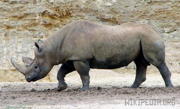 Длина рога носорога