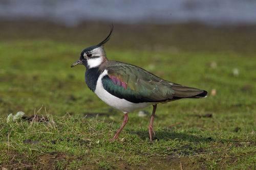 Перелетные птицы сибири фото с названиями