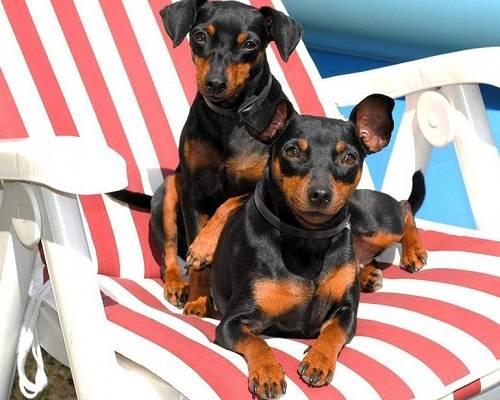 Маленькие охранные породы собак