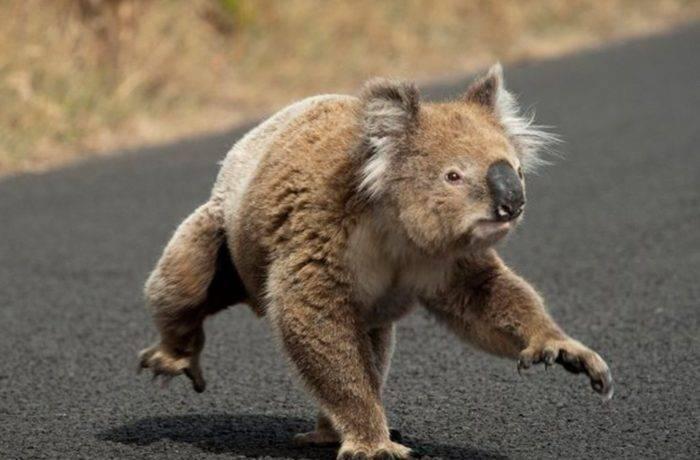Коала сумчатое животное