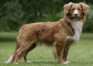 Спокойные породы собак среднего размера