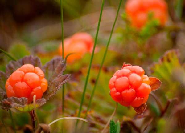Растение тундры морошка сообщение
