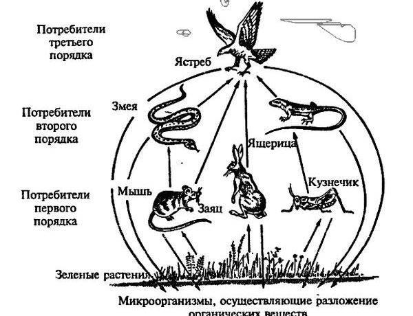 Нарисовать цепь питания животных
