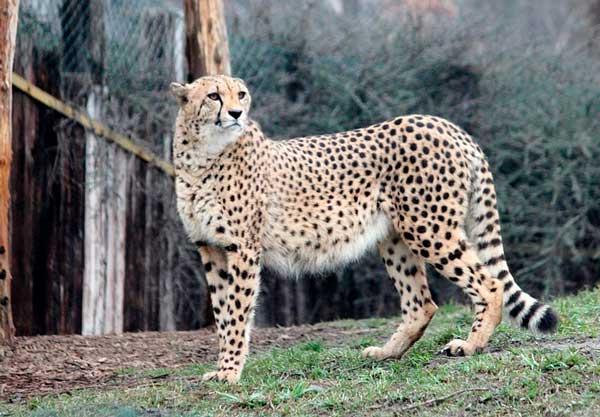 Сообщение о гепарде 3 класс