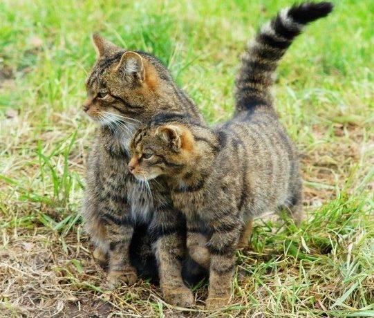 Виды больших кошек
