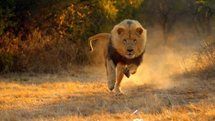 Лев ареал обитания