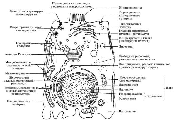 Состав эукариотической клетки