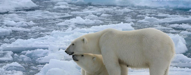 Білий ведмідь фото