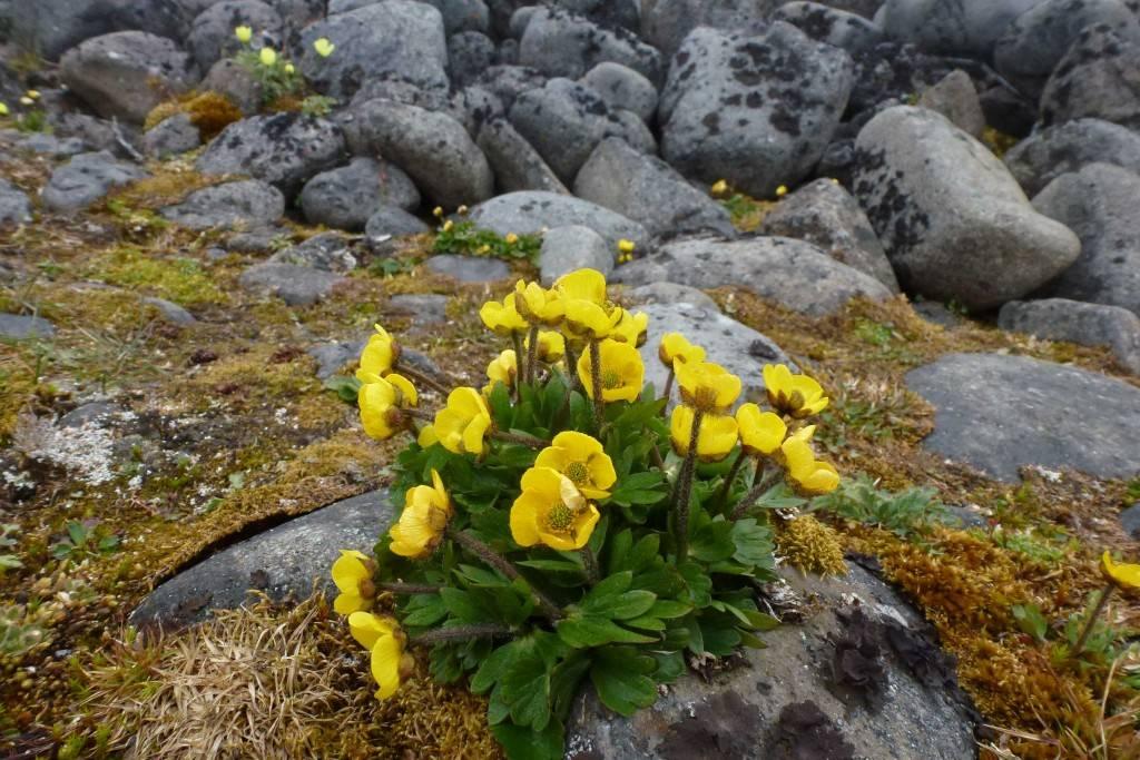 Полярные растения