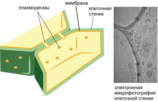 Клеточная стенка грибов содержит
