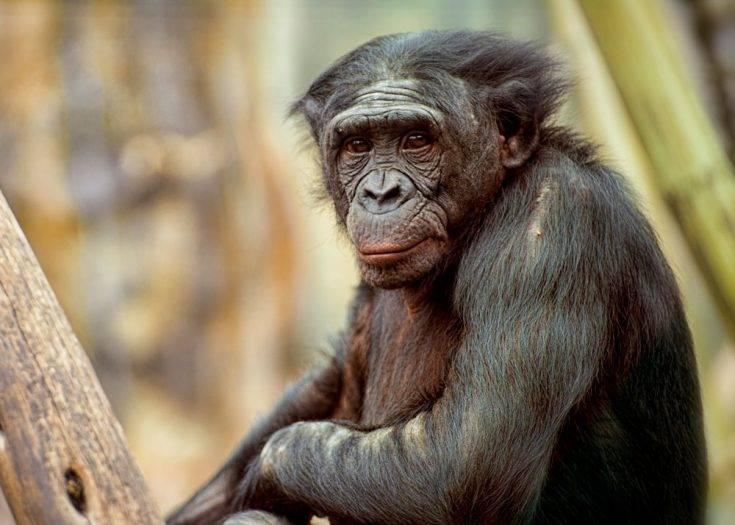 Всеядные обезьяны