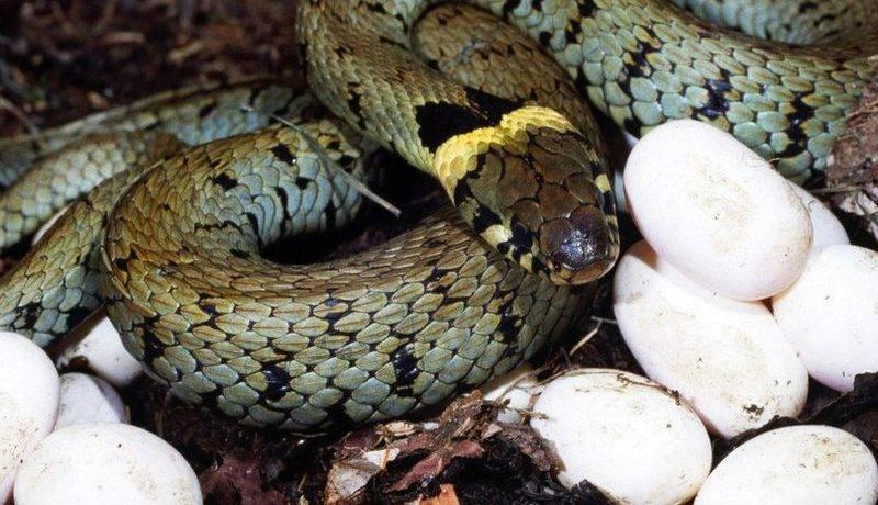 Как совокупляются змеи