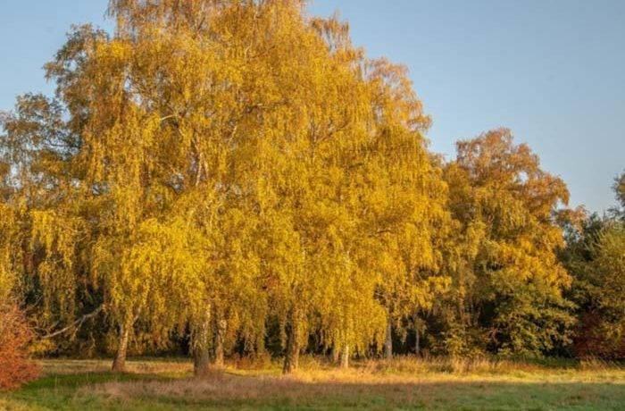 Осенние березы сочинение