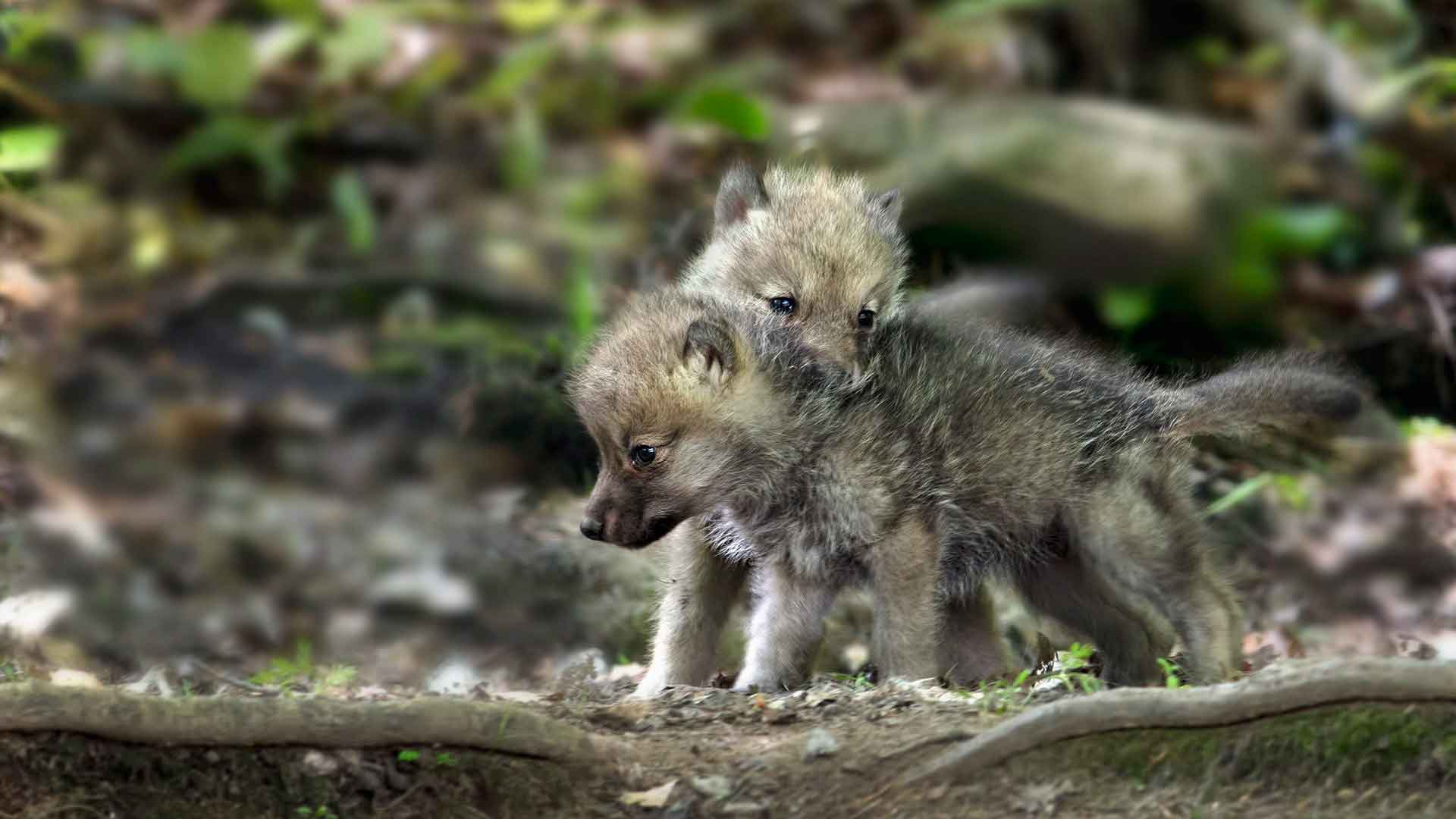 Бурый волк фото