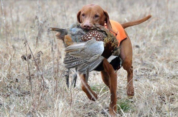 Собака охотник на лис