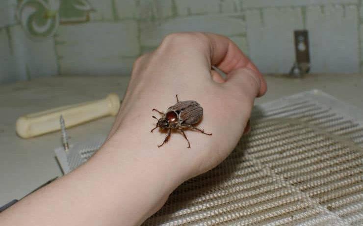 Чем питаются жуки