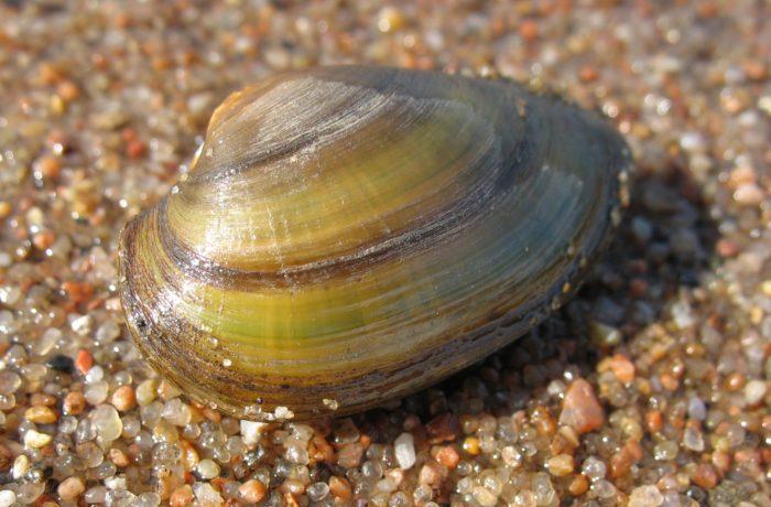 Двухстворчатый моллюск