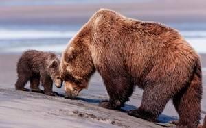 Сколько весит медведь бурый в килограммах