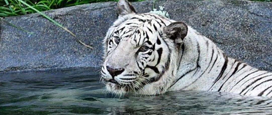 Тигр скорость бега