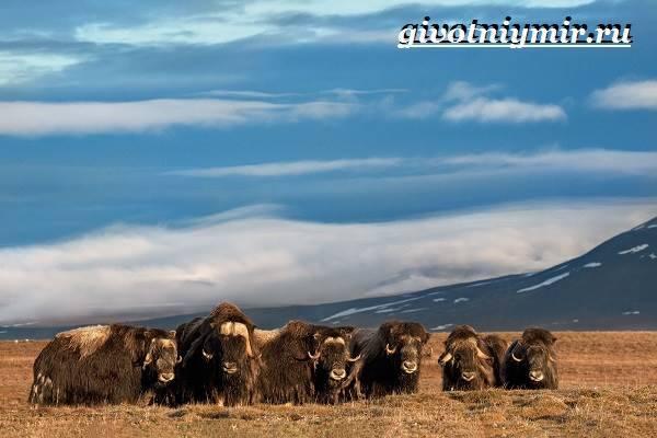 Где живет овцебык в какой зоне