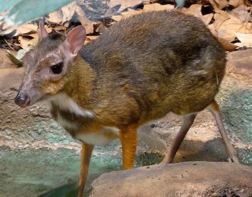 Жвачное парнокопытное млекопитающее