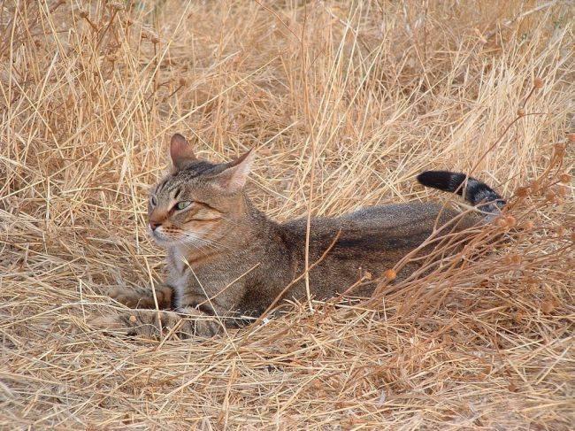 Тростниковый кот